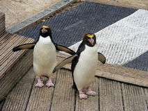 Penguins crossing Stock Images