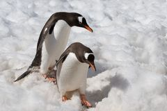 Penguins descending carefully. A snowy path Royalty Free Stock Images