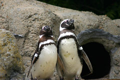 Penguins on Display. Penguins looking like they are accepting an award Stock Photography