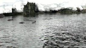Penguins dive near snowy rocky in ocean of Antarctica. stock footage