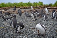 Penguins, Ecotourism in the Patagonia, Chile Stock Photography