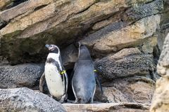 Penguins in enclosure in Seattle Zoo. Two penguins on rocks in their enclosure at the zoo in Seattle stock photo