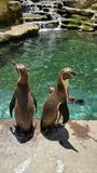 Penguins. Enjoying the water and sunshine in their enclosure Stock Photos