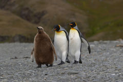 Penguins family Royalty Free Stock Image