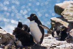 Penguins family. Two rockhopper penguins on the nest Stock Photography