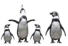 Penguins family. Isolated on white background Stock Photo