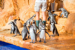 Penguins feeding. Royalty Free Stock Image
