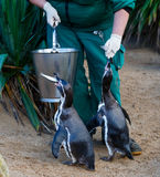 Penguins feeding in zoo Royalty Free Stock Photo