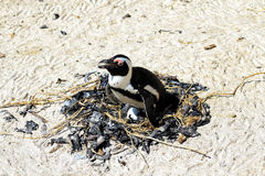The penguins are hatching. In south africa royalty free stock photo