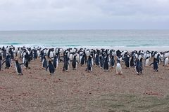 Penguins hovering by the sea Royalty Free Stock Photo