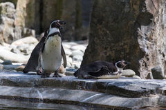 Penguins Humboldt on rock Stock Photography