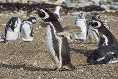 Penguins inside Saint Magdalena Island, Patagonia. Saint Magadalena Island is a remote location inside the Patagonian seas at the Magellan sea, with an amazing stock image