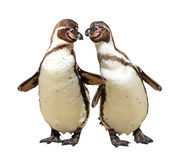 Penguins. Isolated on white background Stock Images