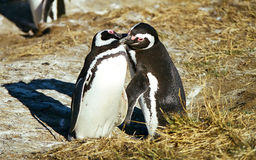 Penguins kissing. Two penguins breeding during summer time on the Magdalena Island, Chile stock photography