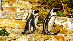Penguins looking to go down the stairs at Boulders Beach. Boulder Beach is home to a colony of African Penguins, in the village of Simons Town in the Cape Royalty Free Stock Photo
