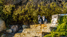 Penguins looking to go down the stairs at Boulders Beach. Boulder Beach is home to a colony of African Penguins, in the village of Simons Town in the Cape Stock Image