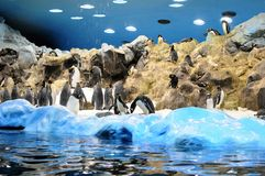 Penguins at Loro Park Royalty Free Stock Image