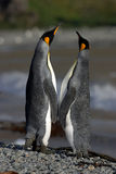 Penguins love Royalty Free Stock Photography