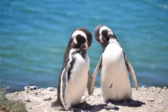 Penguins in love. In the Argentinian Patagonia, the penguins live their love openly in Puerto Madryn Stock Photo