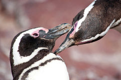 Penguins in love Stock Photos