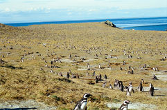 Penguins on Magdalena Island, Chile. Tens of thousands of penguins breeding during summer time on the Magdalena Island, Chile stock photography