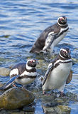 Penguins, Magdalena island, Chile Stock Images