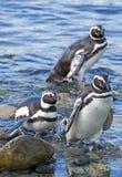 Penguins, Magdalena island, Chile Stock Images