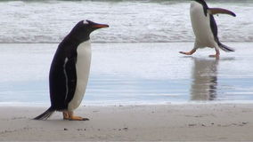 Penguins - Magellan και Gentoo φιλμ μικρού μήκους