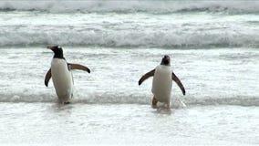 Penguins - Magellan και Gentoo απόθεμα βίντεο