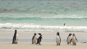 Penguins - Magellan and Gentoo Royalty Free Stock Image