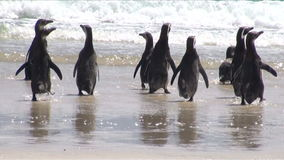 Penguins - Magellan and Gentoo Stock Image