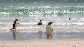 Penguins - Magellan and Gentoo Royalty Free Stock Images