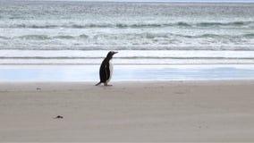 Penguins - Magellan and Gentoo stock footage