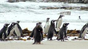 Penguins - Magellan and Gentoo Stock Photo