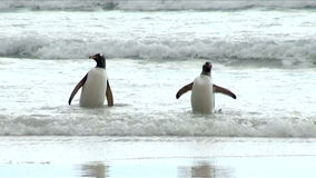 Penguins - Magellan and Gentoo stock video