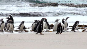 Penguins - Magellan and Gentoo Stock Images