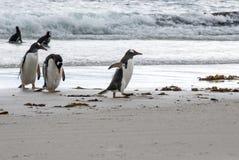 Penguins - Magellan and Gentoo Stock Photos