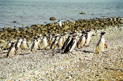 Penguins marching. A group of penguins walking ashore on the Magdalena Island, Chile royalty free stock images
