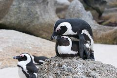 Penguins mating Royalty Free Stock Photography