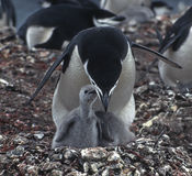 Penguins, Mother and Chick, Antarctica. Chinstrap penguin mother with chick at Baileyhead in Antarctica Stock Images