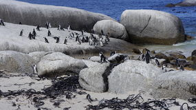 Penguins in the natural habitat. Colony of penguins in their natural habitat Royalty Free Stock Photos