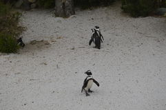 Penguins. On natural park Zoom Turin Stock Photo