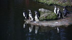 Penguins nearby the water stock footage