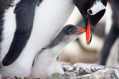 Penguins Nest Stock Images