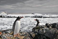 Penguins nest Stock Photography