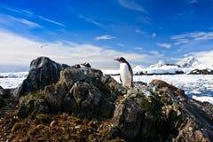 Penguins nest Royalty Free Stock Photos