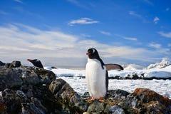 Penguins nest Stock Photo