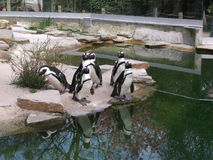 Penguins next to the water. Picture of penguins next to the water Stock Photo