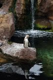 Penguins in The Oceanographic in Valencia. Penguins in their habitat in L'Oceanogràfic (The Oceanographic) oceanarium east of the city of Valencia, Spain Royalty Free Stock Images