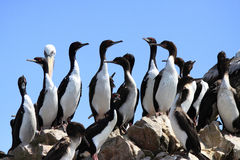 Free Penguins On Rocks Stock Photos - 12391523
